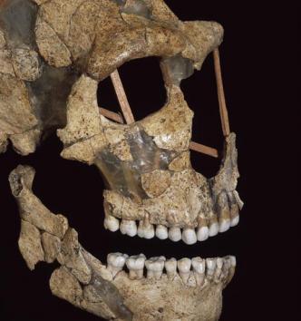 Crâne humain néandertalien